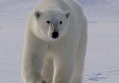 comment chasse l 39 ours polaire la science simplement. Black Bedroom Furniture Sets. Home Design Ideas