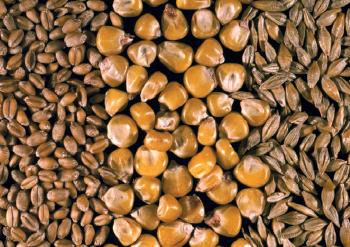 grain de blé