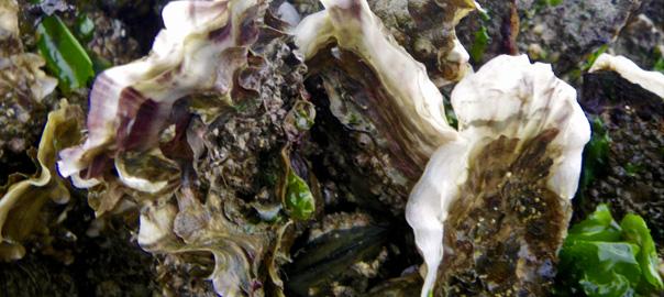 60 clés pour comprendre les huîtres