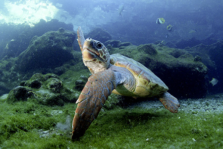 Jeune tortue caouanne