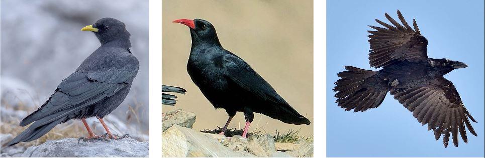 OISEAU : L'archéologie révèle que les corvidés comme le chocard, le crave et le grand corbeau étaient régulièrement consommés par les hommes préhistoriques.