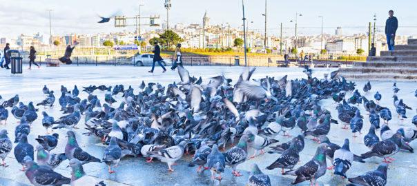 Envolée de pigeons sur une place