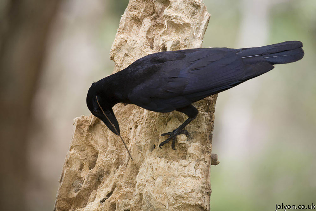 Cobeaux intelligence aviaire