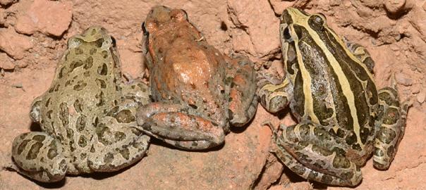 couleur de peau grenouilles